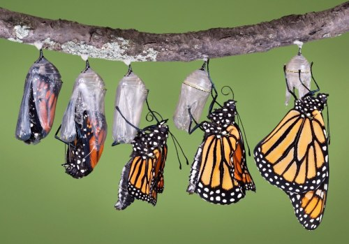 Life cycles - Monarch butterfly