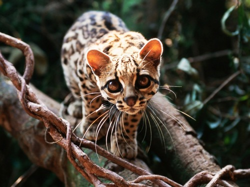 earthlynation:  margay by sparky2000