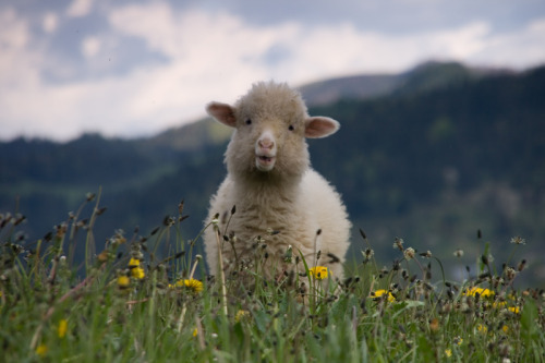 animals-animals-animals:   Lamb (by MickeyIW)
