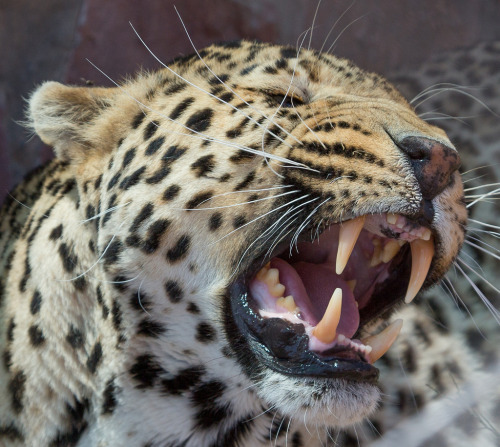 animals cool wildlife jaguars jaguars pictures