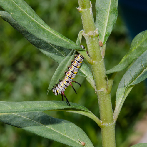 Wow, the milkweed in my pollinator's garden is becoming a mini ecosystem! This week a queen butterfly (Danaus gilippus) caterpillar showed up and started monch-monchin' away. It looks similar to a monarch, in adult and caterpillar form, but there's some key differences, like the three pairs antennae on the queen instead of just two on the monarch. It's the only 'pillar I've gotten so far this year, so I'm guarding the hell out of it in order to share come killer metamorphosis photos with you soon :) I have no idea what kind of 'hopper that is in the second photo, but it's got some cool patterning. I don't particularly like how it's looking at me, though.