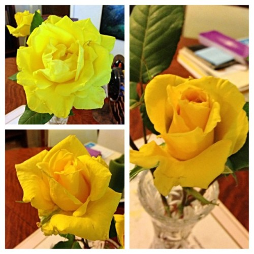 A friends yellow roses.  (at Benton, AR)