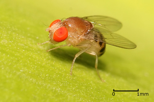 Fly Research Explains Humans' Most Mysterious Physical SenseStroke the soft body of a newborn fruit fly larva ever-so-gently with a freshly plucked eyelash, and it will respond to the tickle by altering its movement — an observation that has helped scientists at the Univ. of California, San Francisco (UCSF) uncover the molecular basis of gentle touch, one of the most fundamental but least well understood of humans' senses.Our ability to sense gentle touch is known to develop early and to remain ever-present in our lives, from the first loving caresses our mothers lavish on us as newborns to the fading tingle we feel as our lives slip away. But until now, scientists have not known exactly how humans and other organisms perceive such sensations.Read more: http://www.laboratoryequipment.com/news/2012/12/fly-research-explains-humans%E2%80%99-most-mysterious-physical-sense