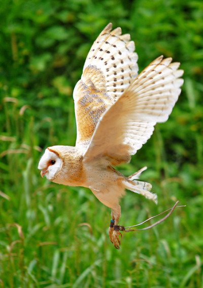 openyour3-yes:  Barn Owl - Gloucestershire
