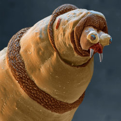 The larva of a bluebottle fly, magnified