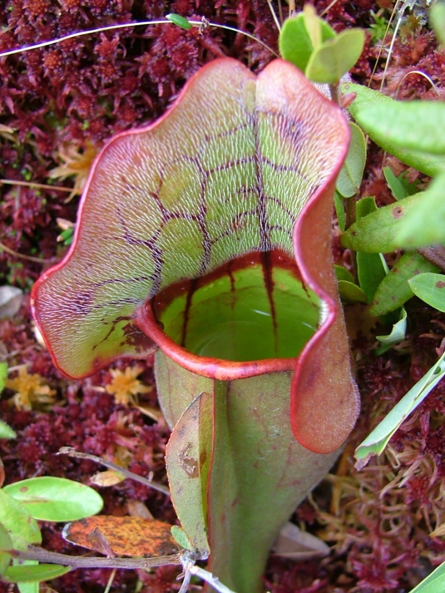 understorey:  An Inside Look at Pitcher Plants A pitcher plant's work seems simple: their tube-shaped leaves catch and hold rainwater, which drowns the ants, beetles, and flies that stumble in. But the rainwater inside a pitcher plant is not just a malevolent dunking pool. It also hosts a complex system of aquatic life, including wriggling mosquito, flesh fly, and midge larvae; mites; rotifers; copepods; nematodes; and multicellular algae. These tiny organisms are crucial to the pitcher plant's ability to process food. They create what scientists call a 'processing chain': when a bug drowns in the pitcher's rainwater, midge larvae swim up and shred it to smaller pieces, bacteria eat the shredded pieces, rotifers eat the bacteria, and the pitcher plant absorbs the rotifers' waste. But that's not the whole story. Fly larvae are also eating the rotifers, midge larvae, and each other, and everybody eats bacteria. It's a complex food web that shifts on the order of seconds. Predicting food-web structure with metacommunity models Image: http://harvardforest.fas.harvard.edu/press-resources-inside-look-pitcher-plants-4113 Related: Nepenthes pitfall traps are an anti-microbial environment