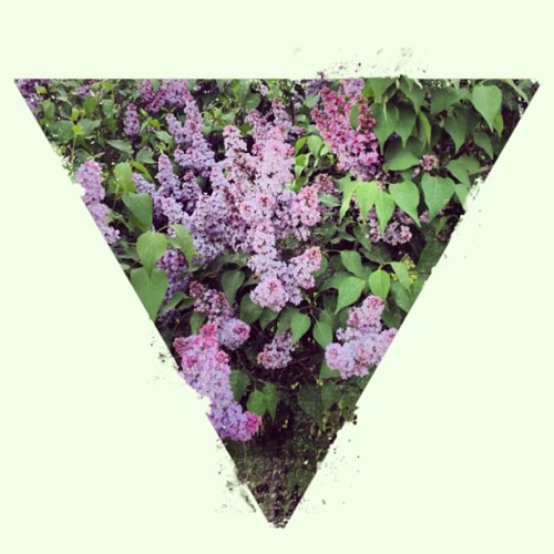#lilac #saratov #spring #summer in #near #bloom #triangle