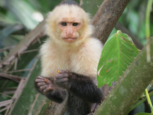 "Capuchin Monkey Doesn't Know What to Think About Manti Te'o Story Steve, a capuchin monkey who lives in Berkley, CA, is actually a University of Alabama fan, so he was definitely rooting against Notre Dame linebacker Manti Te'o in the BCS Championship game.  But Steve is also a Buffalo Bills fan, and he wants the Bills to have a good draft in April. Currently, ESPN's Mel Kiper Jr. has Te'o predicted to go eighth to the Bills, who ranked second-to-last in rush defense in 2012. ""He's monitoring the situation,"" said close friend Jim Vitale. ""He doesn't know what to think about Te'o — whether he was complicit or just a victim.  Steve doesn't think it's his place to judge.  But as a football fan, he he really just hopes nothing changes that might cause Te'o to fall further in the draft."" Via Frontierofficial."