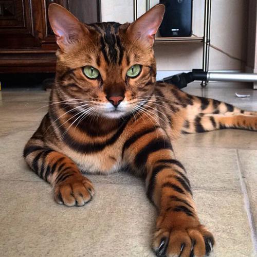 Bien connu chat bengal | Tumblr NR17