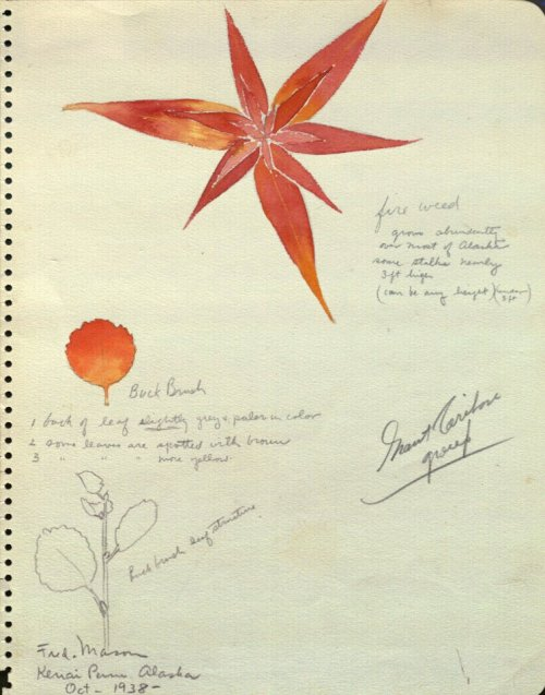 It's Tuesday's peek into the archives! A botanical sketch used in creating the Grant caribou diorama in the Hall of North American Mammals, which first opened in 1942.  Pictured: Buck brush and fire weed (c) AMNH Library