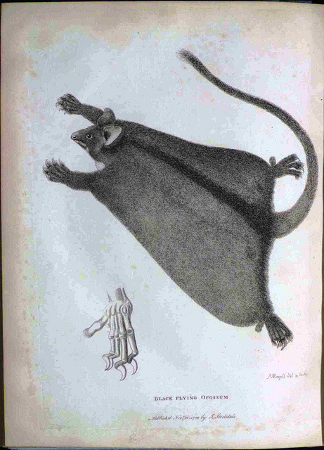 Black Flying Opossum by Library & Archives @ Royal Ontario Museum on Flickr.