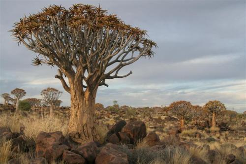 Quiver Tree Forest ~ Kokerboom Woud.Blog Post