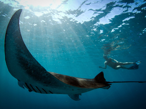 Manta Ray and Snorkeler, Australia  Photograph by Violeta Jahnel