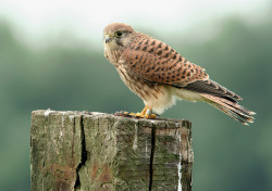 fairy-wren:  European Kestrel. Photo by Pepijn Hof