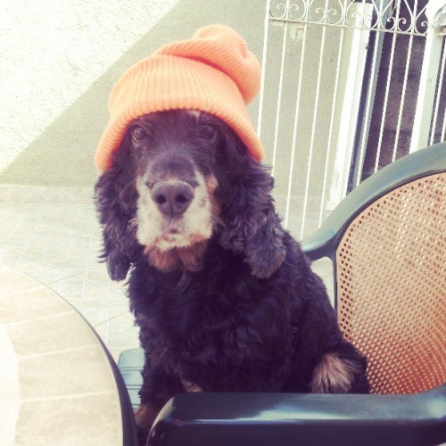 Sup. #dog #cocker #adorbs #orange #cap #cute #love #instadog  (em Home sweet home)