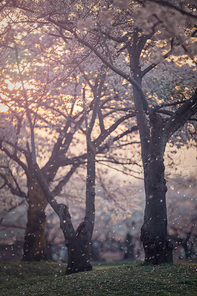 cornersoftheworld:  Hanafubuki - Cherry blossom blizzard (by Rickuz)