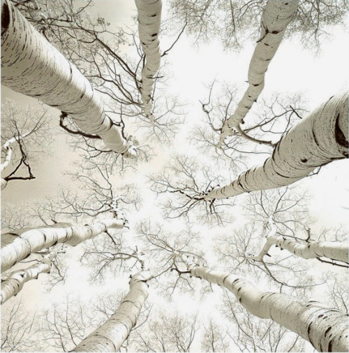 palavre:   Silver Birch by Adam Brock