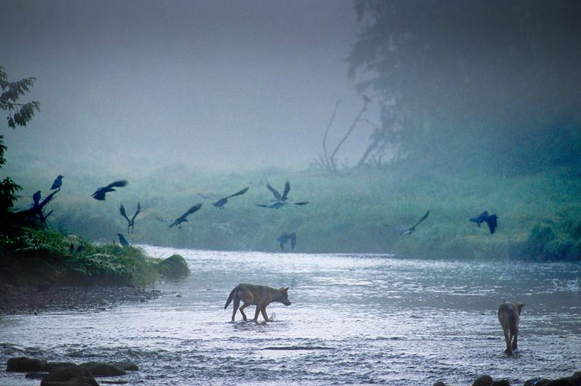 wolveswolves:  Rainforest wolves photographed by Ian McAllister