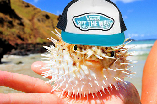 cuntgradulation:  i put a hat on this puffer fish aw