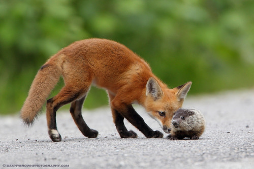earthandanimals:  Fox Kit and Baby Groundhog Photo by Danny Brown.