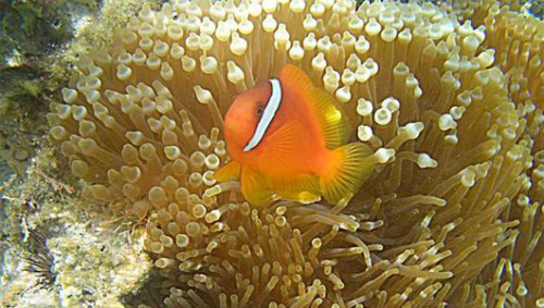 Clownfish wiggles do an anemone good The two sea animals benefit each other, with anemones providing clownfish shelter and clownfish helping the anemones to breathe.