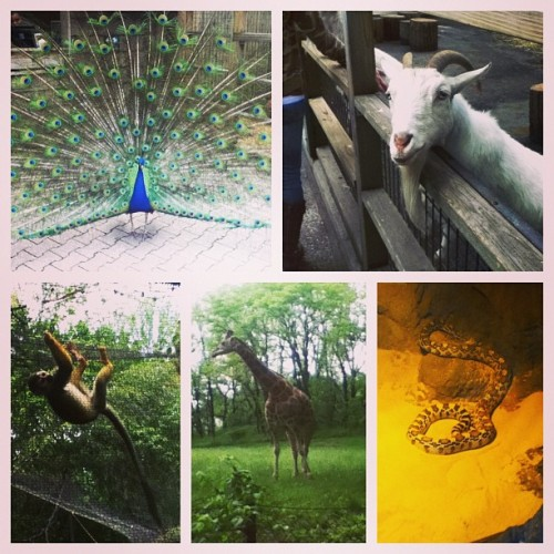 That f-ing goat scared me the most today. Lmfaoo :(  (at Bronx Zoo)