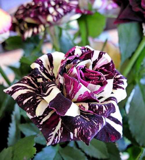 opticoverload:  Variegated Rose