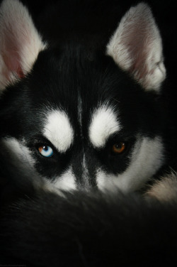 ayustar:  3/52 - Those eyes.. by Arctic Blue Huskies on Flickr.