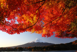 Mt. Fuji and autumn Japanese maple.
