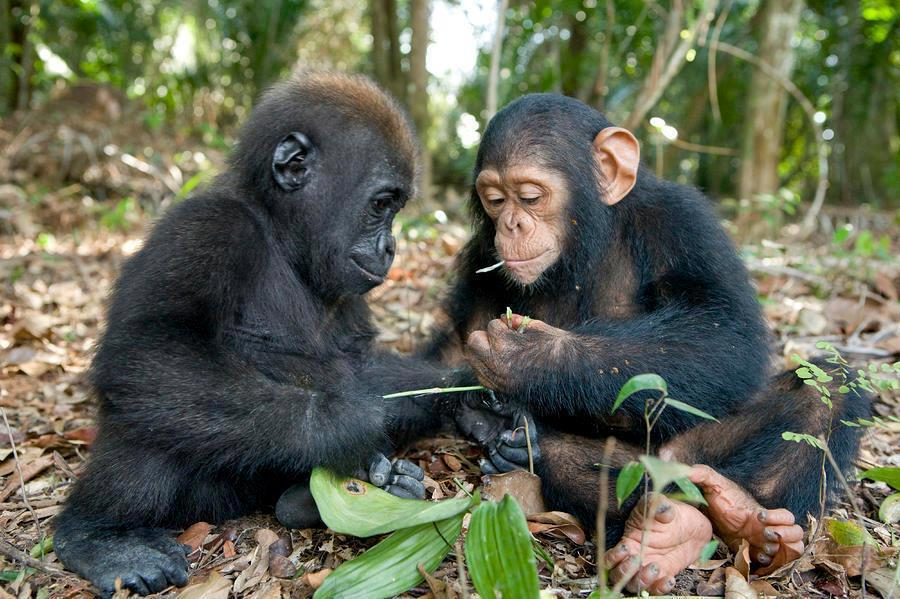 socialismartnature:  A rare encounter of a baby gorilla and a chimpanzee examining leaves at the Evaro Gorilla Orphanage in Gabon.  Photo Credit & Copyright: National Geographic / Michael Poliza