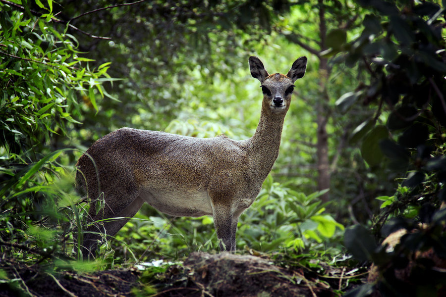 animals-animals-animals:  Klipspringer (by GoDsGiMp)
