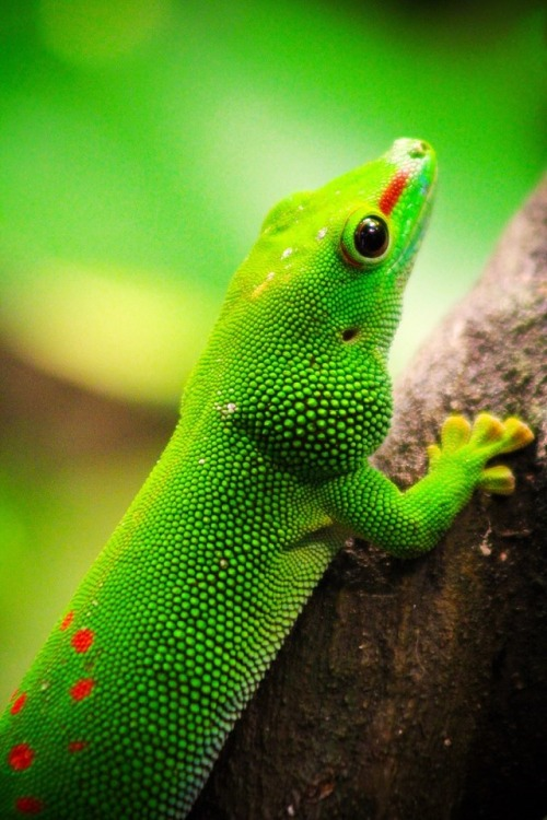 earthandanimals:  Giant Day Gecko *This is my own photography*