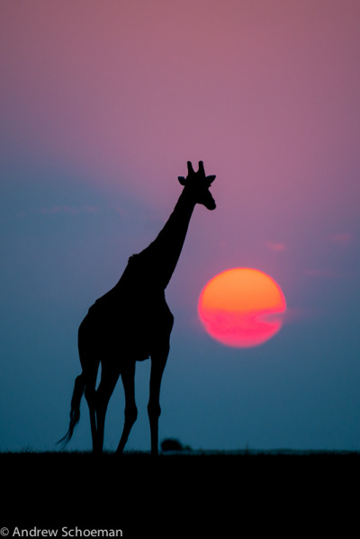 Chobe Sunset - A amazing sunset made more special by the Giraffe that wandered into the frame