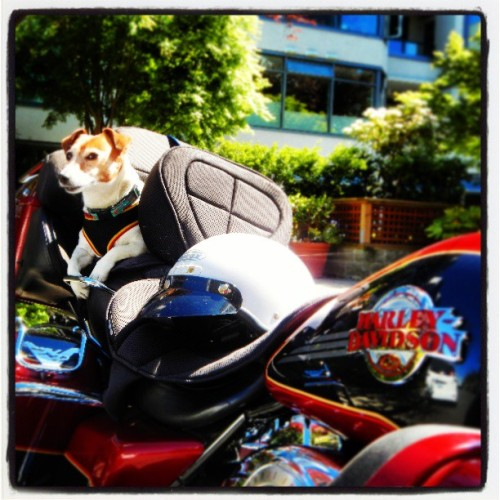 Guard Dog on his ride. #nikoncoolpixs800c #nickdidlickphotography #harleydavidson #vancouver http://bitly.com/YxGw8f