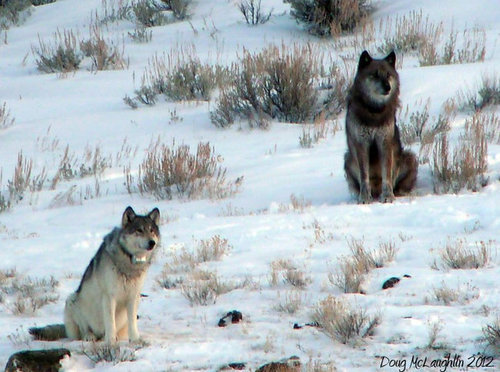 "climateadaptation:  Famous wolf shot and killed for sport to ""protect cows"".   Yellowstone National Park's best-known wolf, beloved by many tourists and valued by scientists who tracked its movements, was shot and killed on Thursday outside the park's boundaries, Wyoming wildlife officials reported. The wolf, known as 832F to researchers, was the alpha female of the park's highly visible Lamar Canyon pack and had become so well known that some wildlife watchers referred to her as a ""rock star."" The animal had been a tourist favorite for most of the past six years. The wolf was fitted with a $4,000 collar with GPS tracking technology, which is being returned, said Daniel Stahler, a project director for Yellowstone's wolf program. Based on data from the wolf's collar, researchers knew that her pack rarely ventured outside the park, and then only for brief periods, Dr. Stahler said. This year's hunting season in the northern Rockies has been especially controversial because of the high numbers of popular wolves and wolves fitted with research collars that have been killed just outside Yellowstone in Idaho, Montana and Wyoming. NYTimes   Why? Thank Obama, for compromising on a bill that delisted wolves from the Endangered Species Act. There are only a handful of wolves alive, almost all are now eligible to be shot."
