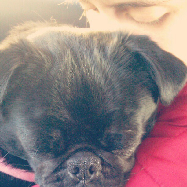 Sleeping loves #pug #pugstagram #ilovemypug #dailypug #b  #love #velma #personal