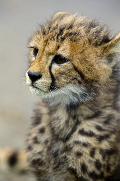 animalkingd0m:  Cheetah Cub by Joe Motohashi