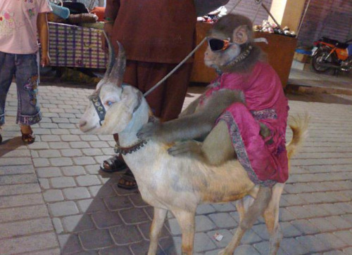 animals-riding-animals:  monkey riding goat