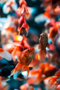 Goldfish by Hendrik Schicke   Little fishes