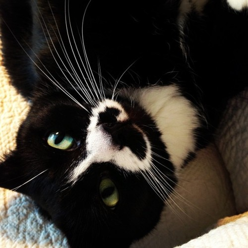 Reggie & The Full Effect is a cutie kitty. #kitties #cats #tuxedocats #rescuecats #catsofinstagram