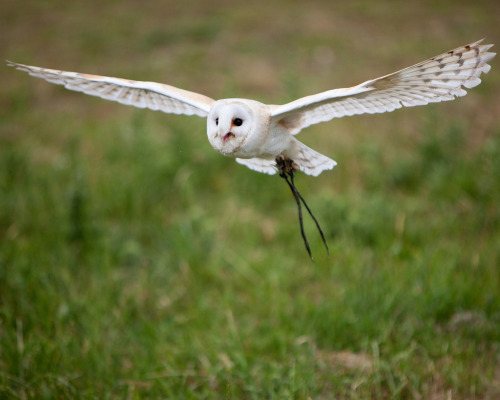 Owls are nearly silent hunters, able to swoop down on their prey without the rush of air over their wings giving away their approach, thanks to several key features of their feathers. The trailing edge of their feathers—or any lifting body, like an airplane wing—are a particular source of acoustic noise due to the interaction of turbulence near the surface with the edge. Since owls are especially good at eliminating self-produced noise in a frequency range that overlaps human hearing, investigators want to learn what works for owls and apply to it aircraft. A recent theoretical analysis uses a simplified model of the feather as a porous, elastic plate. The researchers found that the combination of porosity with the elasticity of the trailing edge significantly reduced noise relative to a rigid edge. (Photo credit: N. Jewell; research credit: J. Jaworski and N. Peake)