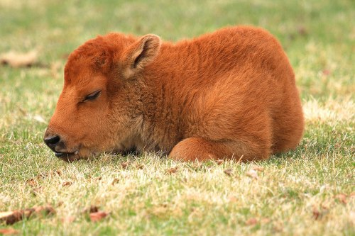 wild-earth:  Newborn baby bison at Yellowstone National Park