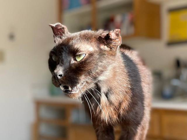 He may look like a taxidermy project gone-wrong, but he is one of the most affectionate cats I've ever met. Hopefully he goes to a forever home soon! via /r/cats by comradequiche https://ift.tt/2RqQlHh #cats#cat#kittens#feline#gato#gatinho#filhote#cutecatsgifsandetc