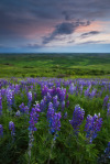 lacerto:    Time flies - Palouse Lupine by David Thompson.