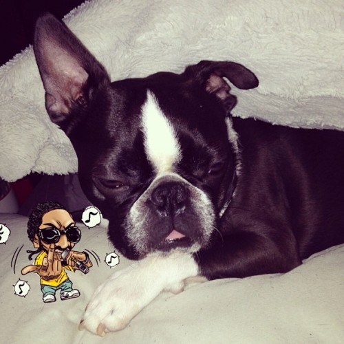 #imstillsleepy #cute #instagood #dogsofinstagram  #adorable #bostonterrier #datface
