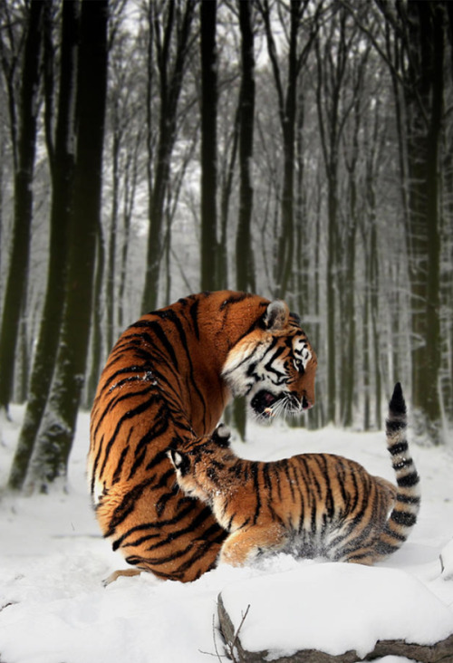 eqiunox:  Tiger Mother with cub by Julie L Hoddinott