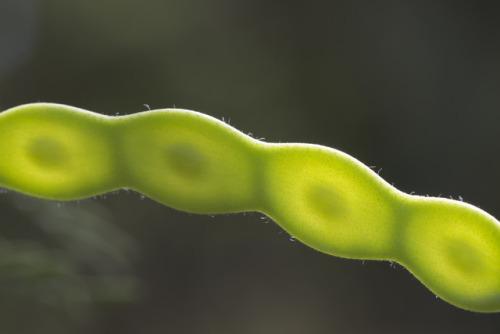mesquite bean pod seed pod photographers on tumblr textless amadee ricketts green backlighting macro arizona summer