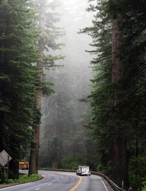 planetearths:  California → Redwoods [by flopper]  I miss home…