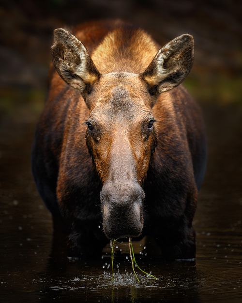 earthandanimals:  Moose in a pond Photo by Steve Perry