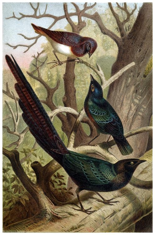 oldbookillustrations:  Starlings. From Brehms Tierleben (Brehm's animal life) vol. 4, under the direction of Alfred Edmund Brehm, Leipzig & Vienna, 1900. (Source: archive.org)